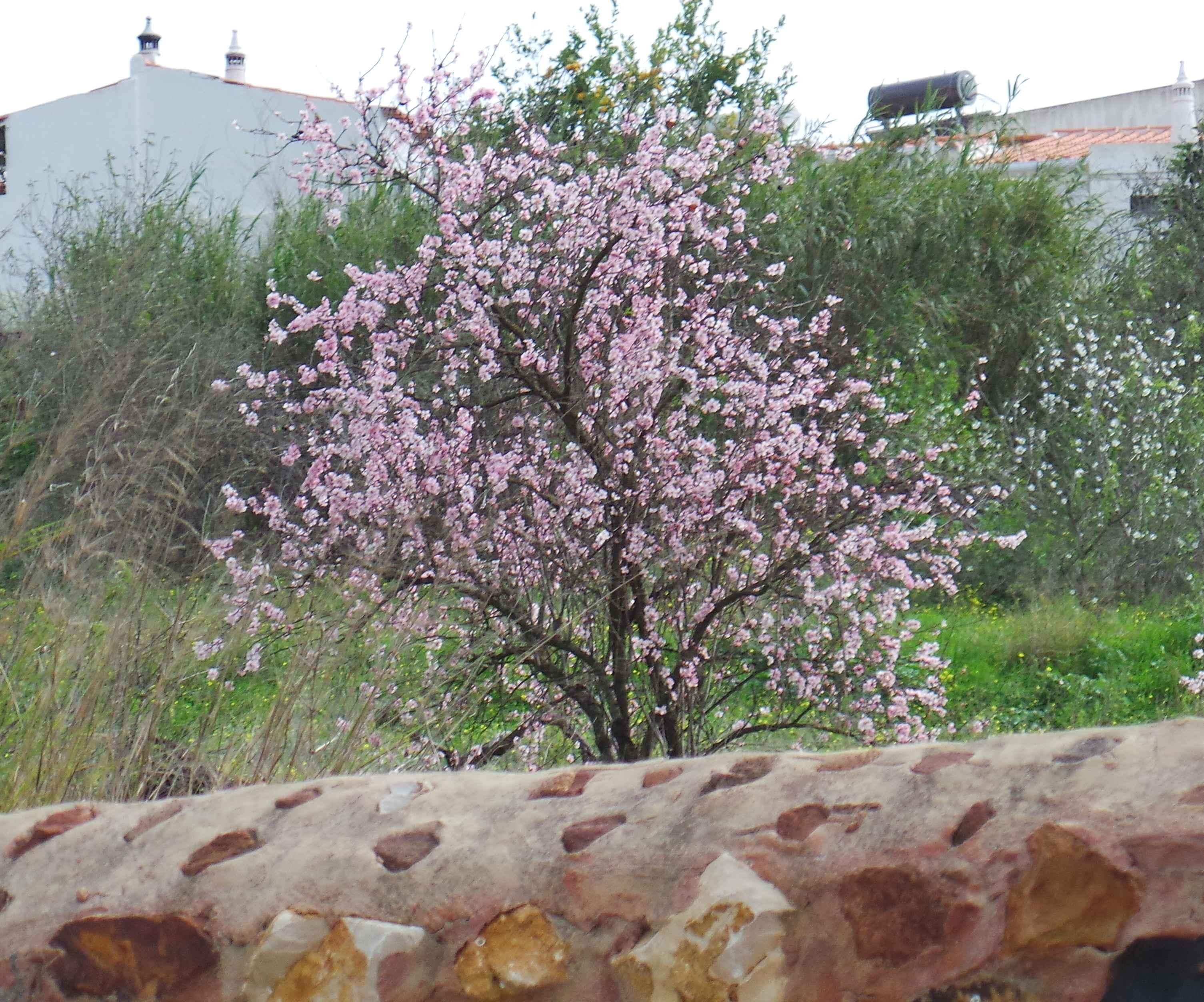 Mandelträd